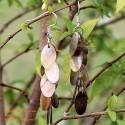 Organic Mother of Pearl - Earrings