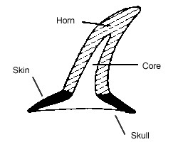 simple drawing for core water buffalo horn