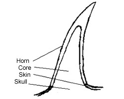 core cattle horn simple drawing